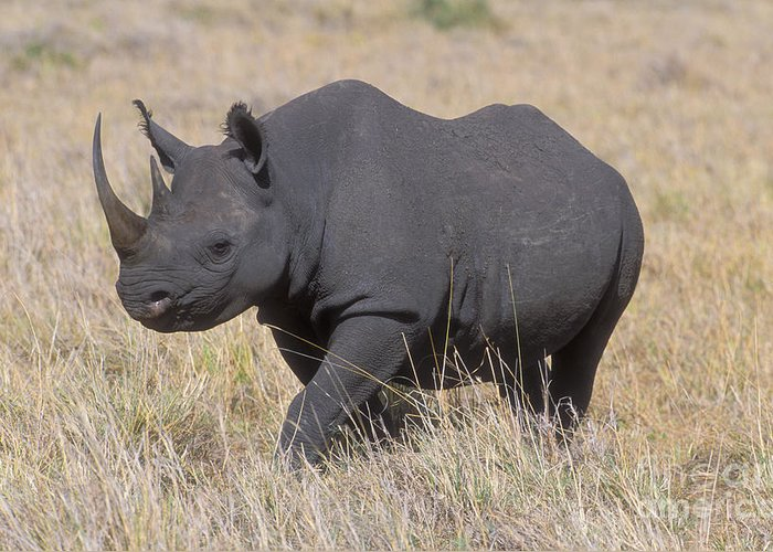 Rhinoceros Greeting Card featuring the photograph Black Rhino On The Masai Mara by Sandra Bronstein