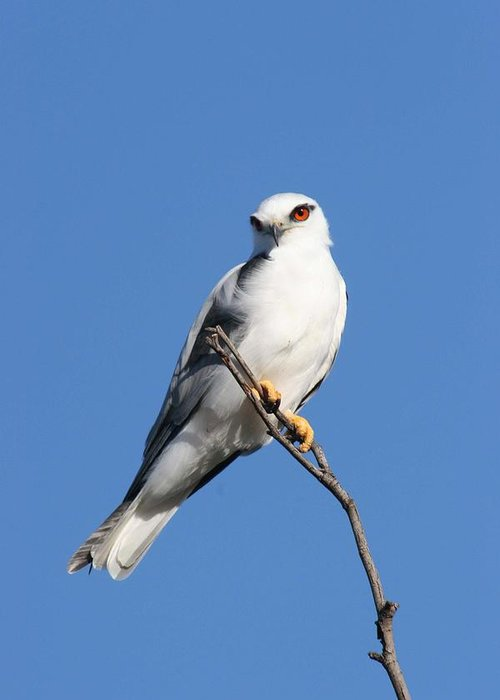 Osprey Greeting Card featuring the photograph Black-shouldered Kite by Tony Brown