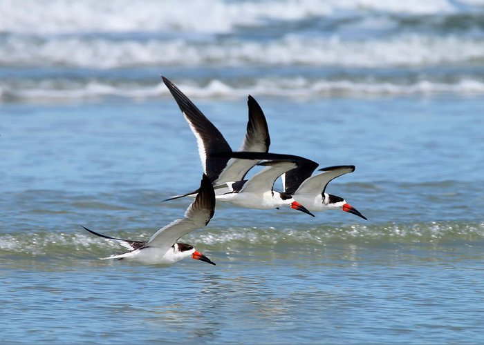 Birds Greeting Card featuring the photograph Black Skimmer Flock by Daniel Caracappa
