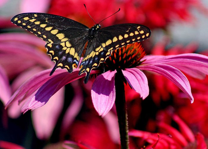 Insect Greeting Card featuring the photograph Black Swallowtail Butterfly On Coneflower Square by Karen Adams
