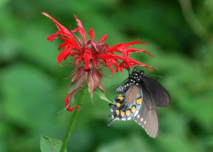 Black Swallowtail Greeting Card featuring the photograph Black Swallowtail On Bee Balm by Alan Lenk