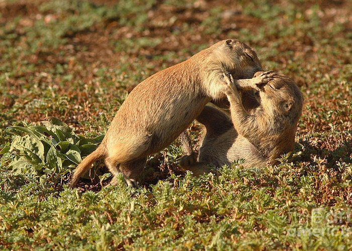 Prairie Dog Greeting Card featuring the photograph Black-tailed Prairie Dogs Wrestling Around by Max Allen