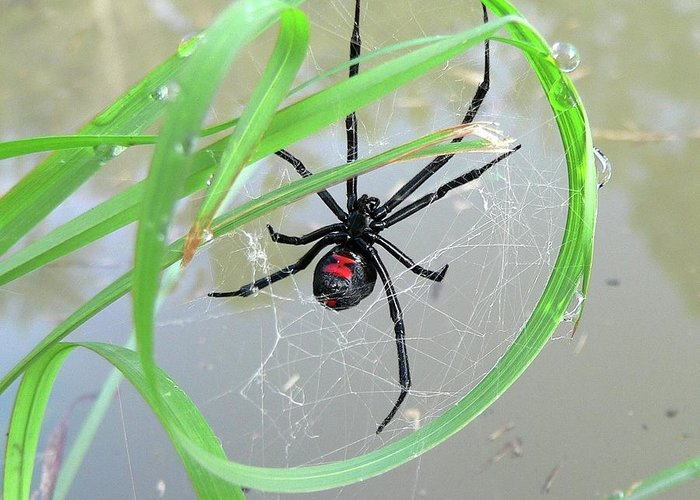 Spider Greeting Card featuring the photograph Black Widow Wheel by Al Powell Photography USA