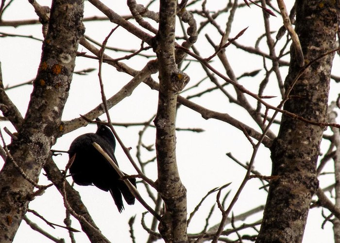 Blackbird Greeting Card featuring the photograph Blackbird In A Tree by William Tasker
