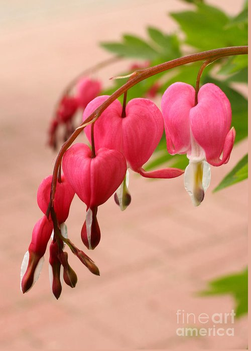 Flower Greeting Card featuring the photograph Bleeding Hearts In The Park by Steve Augustin