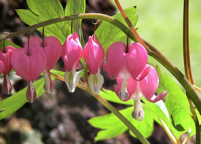 Flowers Greeting Card featuring the photograph Bleeding Hearts by Nancy Barch
