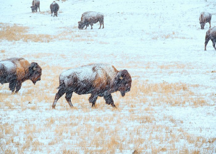 Buffalo Greeting Card featuring the photograph Blizzard by Derald Gross