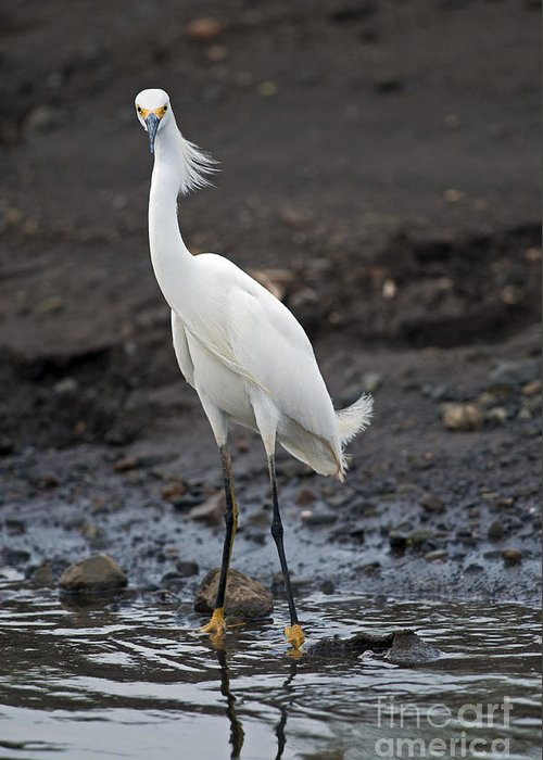 Snowy Egret Greeting Card featuring the photograph Blond Beauty.. by Nina Stavlund