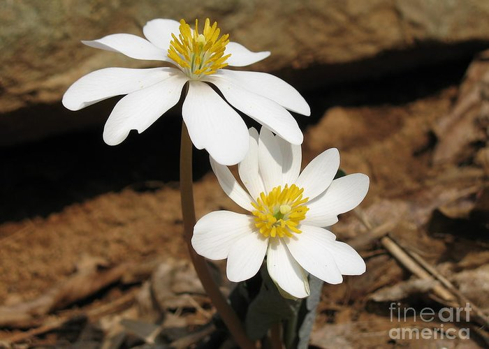 Bloodroot Greeting Card featuring the photograph Bloodroot by Steve Gass