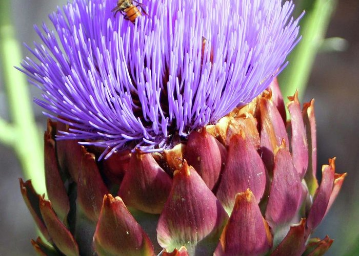 Greeting Card featuring the photograph Bloomin Artichoke by Chris Delucchi