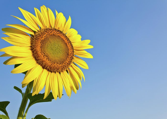 Agriculture Greeting Card featuring the photograph Blooming Sunflower In The Blue Sky Background by Tosporn Preede