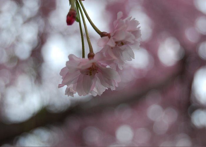 Nature Greeting Card featuring the photograph Blossom In Pink by Peter McIntosh