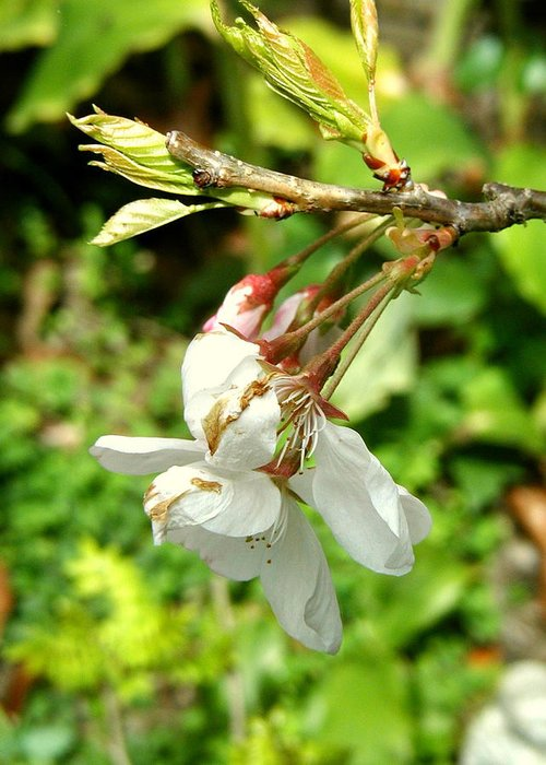 Blossom Greeting Card featuring the photograph Blossom by Mark Stevenson