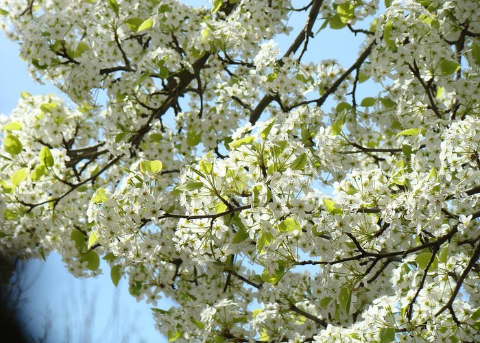�blossoms Artwork� Greeting Card featuring the photograph Blossoms Whtie Tree Blossoms 29 Nature Art Prints Spring Art by Baslee Troutman