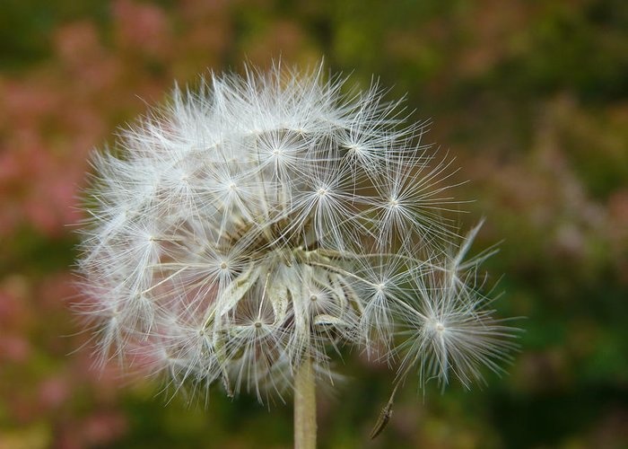 Blowball Greeting Card featuring the photograph Blowball 3 by Valerie Ornstein