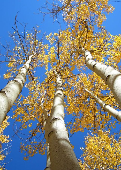 Trees Greeting Card featuring the photograph Blue And Gold by Brian Anderson