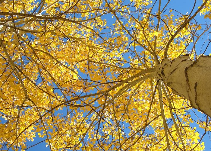 Aspen Greeting Card featuring the photograph Blue And Gold II by Brian Anderson