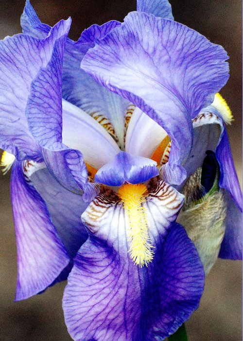 Iris Greeting Card featuring the photograph Blue Bearded Iris by Mark Wiley