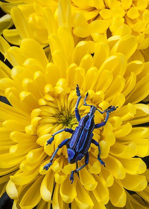 Blue Greeting Card featuring the photograph Blue Bug On Yellow Mum by Garry Gay