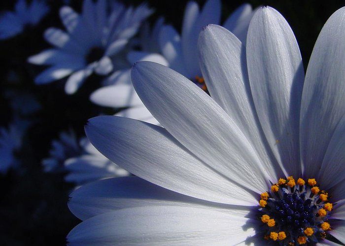 Flower Greeting Card featuring the photograph Blue Bursts by Edan Chapman