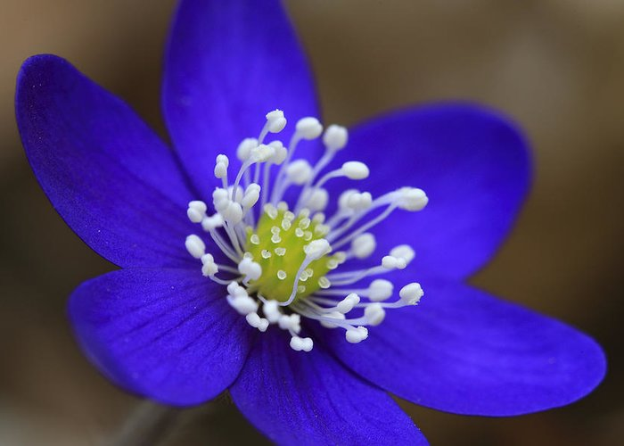 Aroma; Aromatic; Beautiful; Beauty; Birthday; Bloom; Blooming; Blossom; Blue; Botanical; Closeup; Colorful; Colourful; Common; Details; Hepatica; Family Greeting Card featuring the photograph Blue Buttercup by Romeo Koitmae