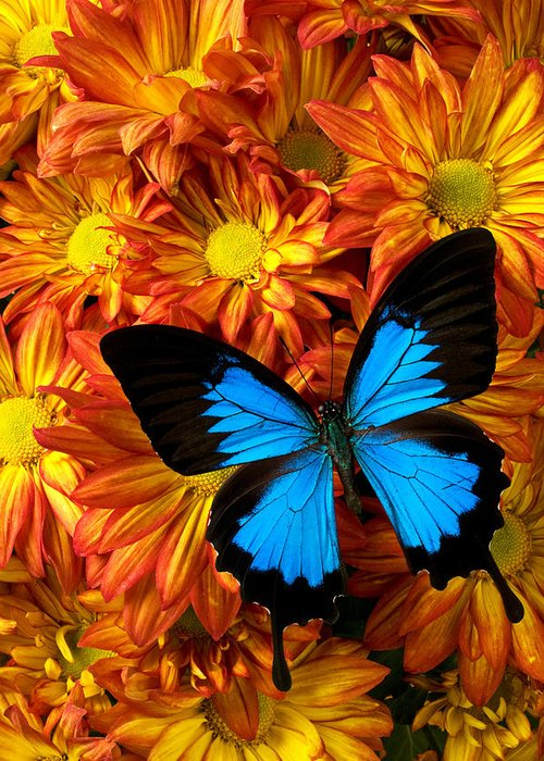 Butterfly Greeting Card featuring the photograph Blue Butterfly On Mums by Garry Gay
