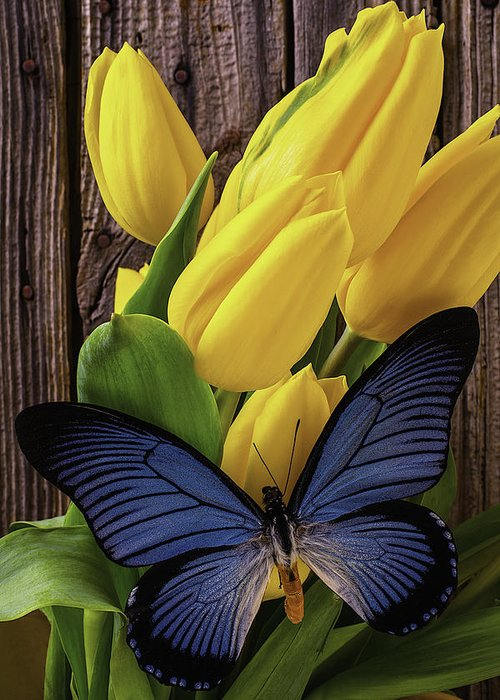 Yellow Greeting Card featuring the photograph Blue Butterfly On Yellow Tulips by Garry Gay