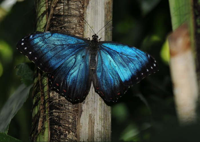 Blue Butterfly Image Print Photograph For Sale Limited Edition Greeting Card featuring the photograph Blue Butterfly by Patrick Short