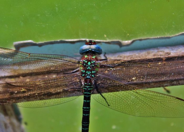Dragonfly Greeting Card featuring the photograph Blue Dragon by Raquel Rogers