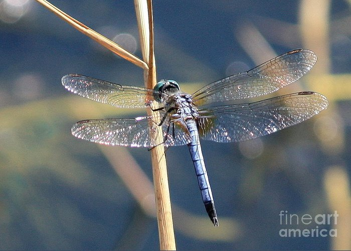 Dragonfly Greeting Card featuring the photograph Blue Dragonfly by Carol Groenen