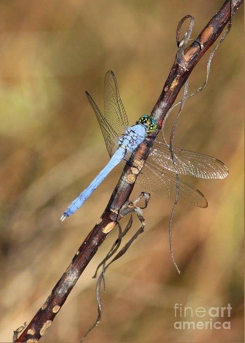 Dragonflies Greeting Card featuring the photograph Blue Dragonfly Portrait by Carol Groenen