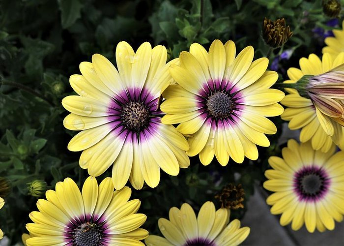 Blue-eyed Beauty Greeting Card featuring the photograph Blue Eyed Beauty African Daisy by David Rafuse Captured Images of Maine