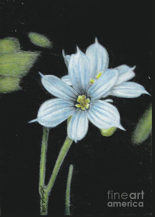 Fuqua - Artwork Greeting Card featuring the drawing Blue Eyed Grass - 2 by Beverly Fuqua