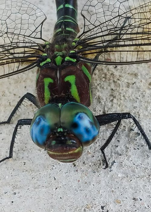 Dragonfly Greeting Card featuring the photograph Blue Eyes by Tim Fusco
