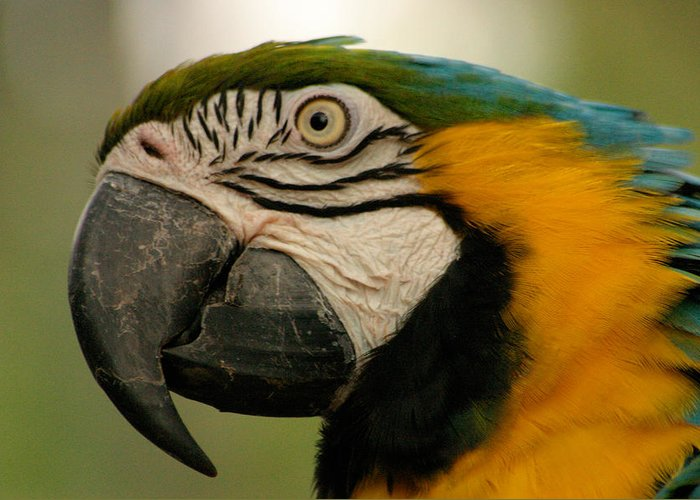 Parrot Greeting Card featuring the photograph Blue Gold Macaw South America by Ralph A Ledergerber-Photography