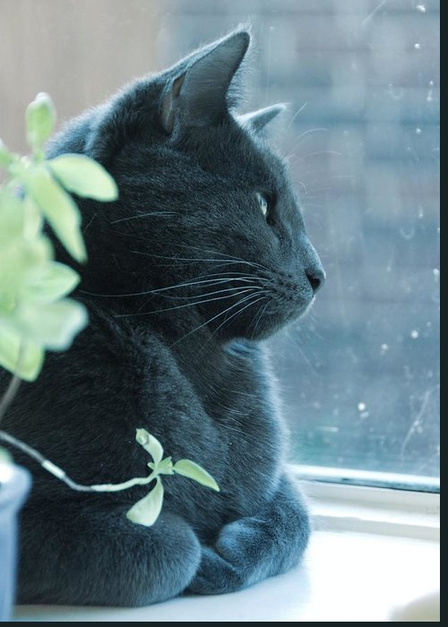 Cat Greeting Card featuring the photograph Blue Grey Contemplating Cat by Katherine Nutt