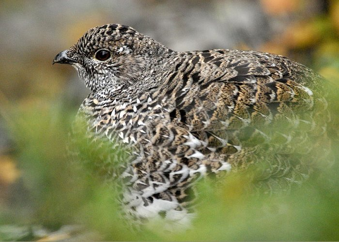 Blue Grouse Greeting Card featuring the photograph Blue Grouse Hen 1 by Larry Ricker