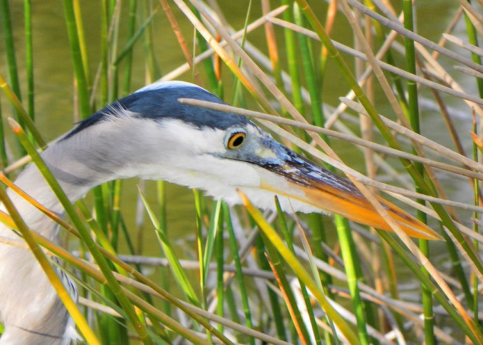Bird Greeting Card featuring the photograph Blue Heron Hunting by Rosalie Scanlon