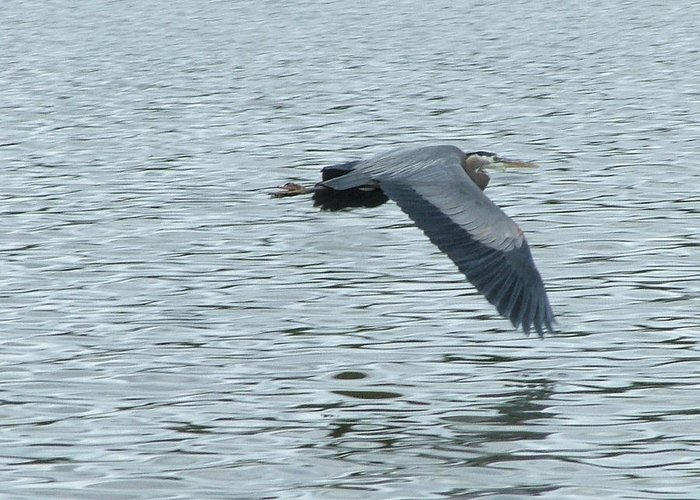 Blue Heron Greeting Card featuring the photograph Blue Heron In Flight by Nick Gustafson