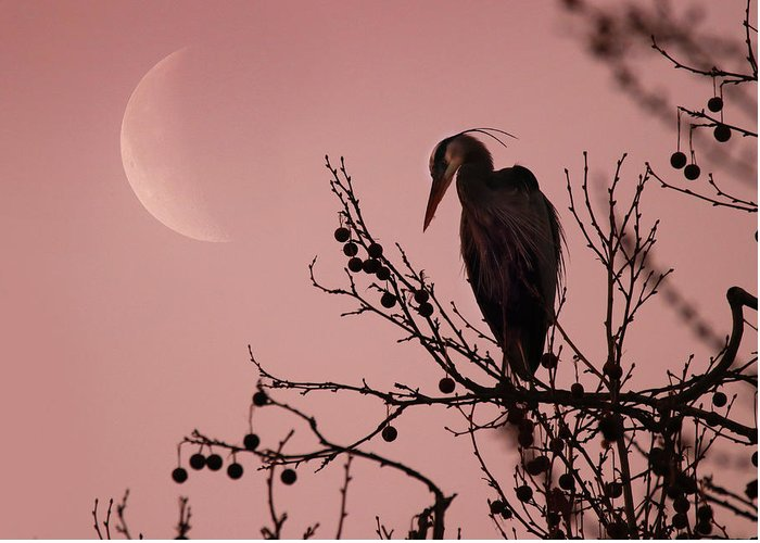 Greeting Card featuring the photograph The Heron And The Moon by Rob Blair