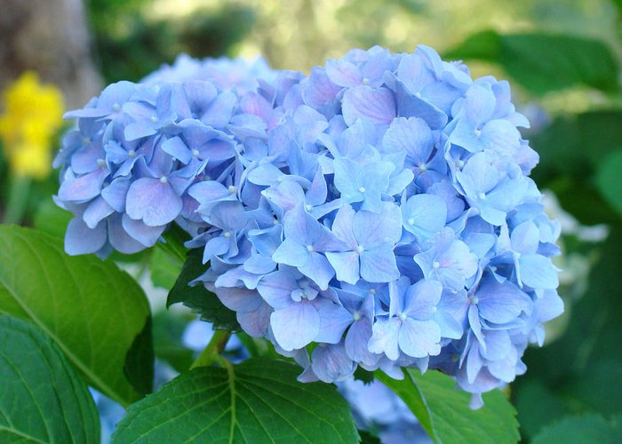 Hydrangea Greeting Card featuring the photograph Blue Hydrangea Flowers Art Botanical Nature Garden Prints by Baslee Troutman