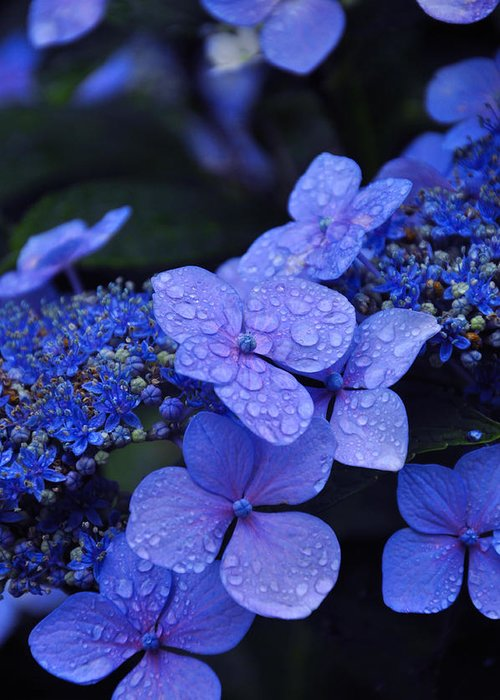 Flowers Greeting Card featuring the photograph Blue Hydrangea by Noah Cole