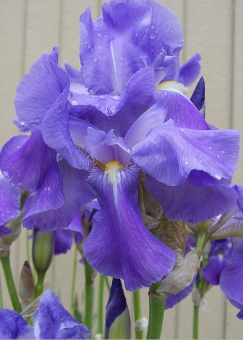 Flowers Greeting Card featuring the photograph Blue Iris by Laurie Kidd