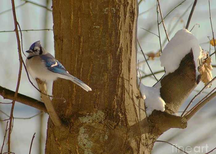 Blue Greeting Card featuring the photograph Blue Jay by Louise Fahy