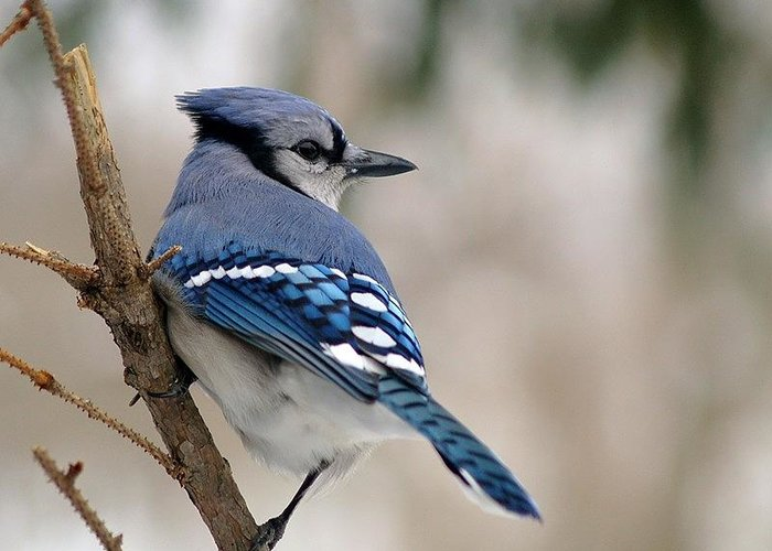 Blue Jay Greeting Card featuring the photograph Blue Jay by Gaby Swanson