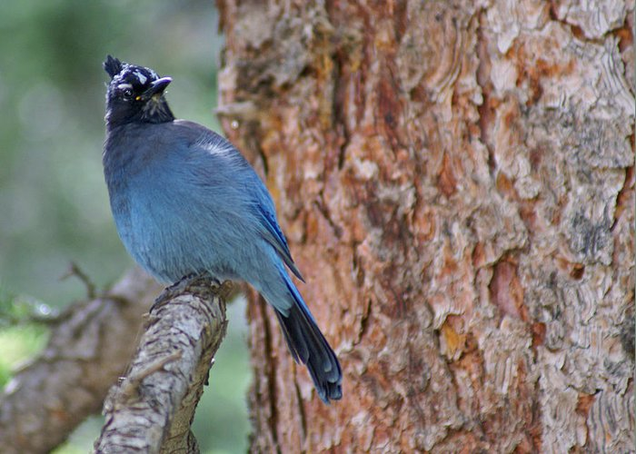 Blue Jay Greeting Card featuring the photograph Blue Jay by Heather Coen