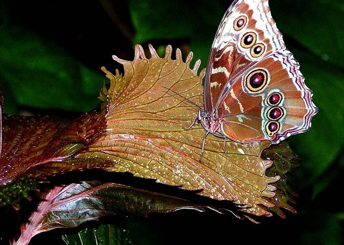 Butterfly Greeting Card featuring the photograph Blue Morph Butterfly by Mindy Newman