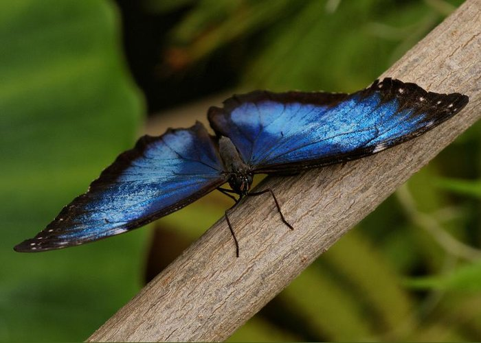 Butterfly Greeting Card featuring the photograph Blue Morpho Butterfly by Sandy Keeton
