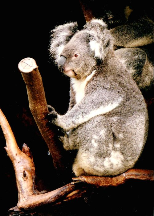Koala Greeting Card featuring the photograph Blue Mountains Koala by Darren Stein