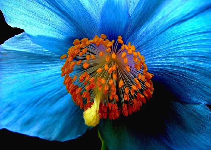 Meconopsis Greeting Card featuring the photograph Blue Poppy II - Closeup by Robert Nankervis